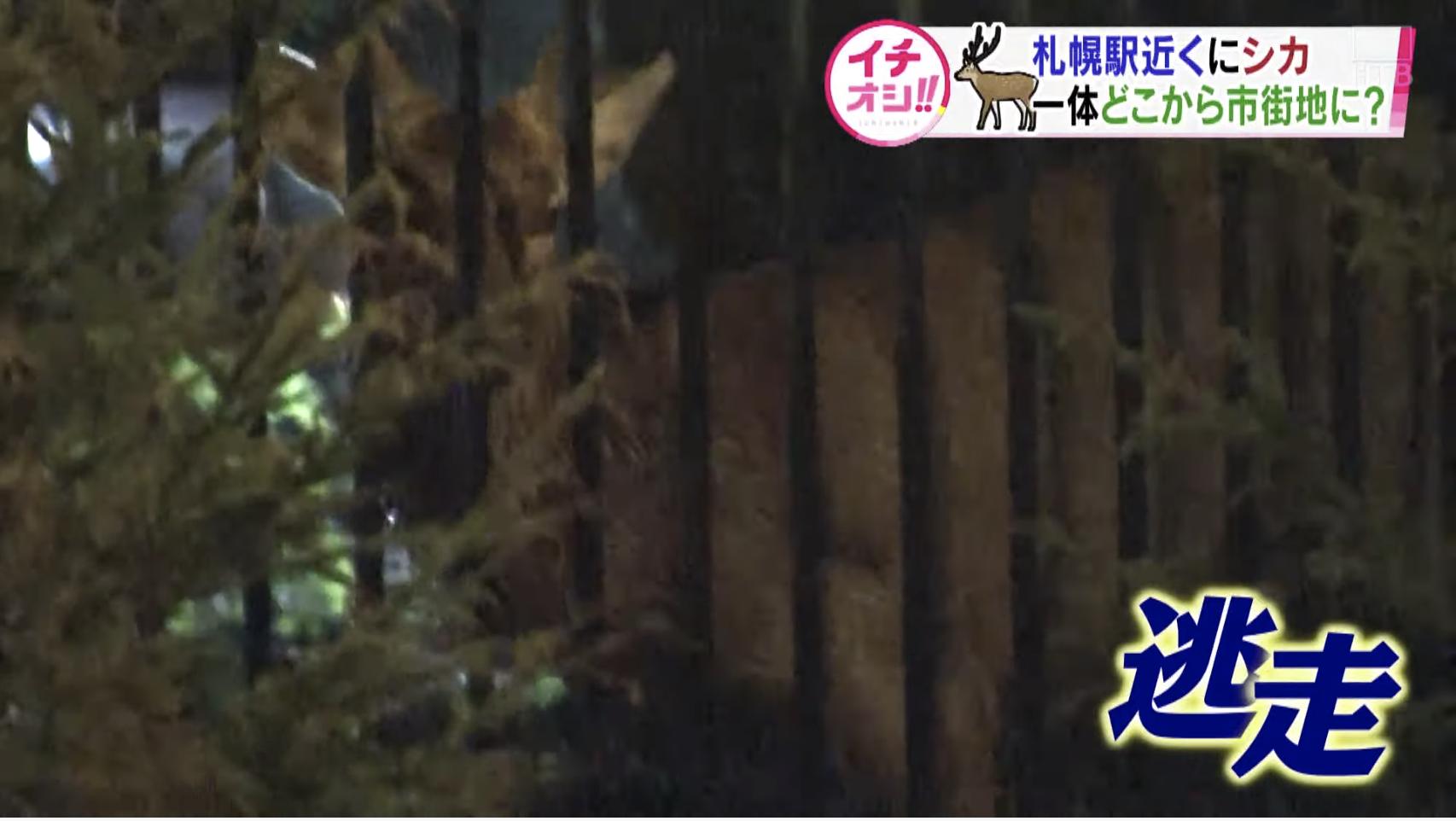【大捕物】札幌駅付近で相次ぐシカ出没!一体どこから?