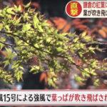 鎌倉の紅葉に異変 大仏コースに倒木