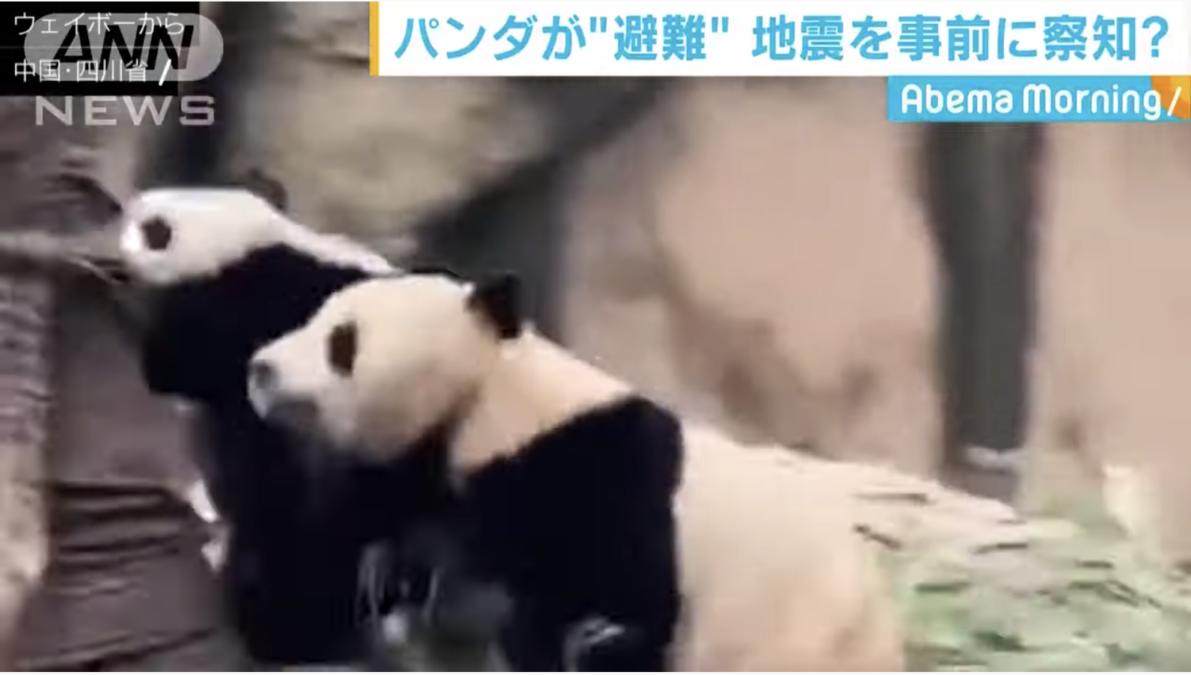 【中国】四川省のパンダが地震を察知!?観光客が撮影