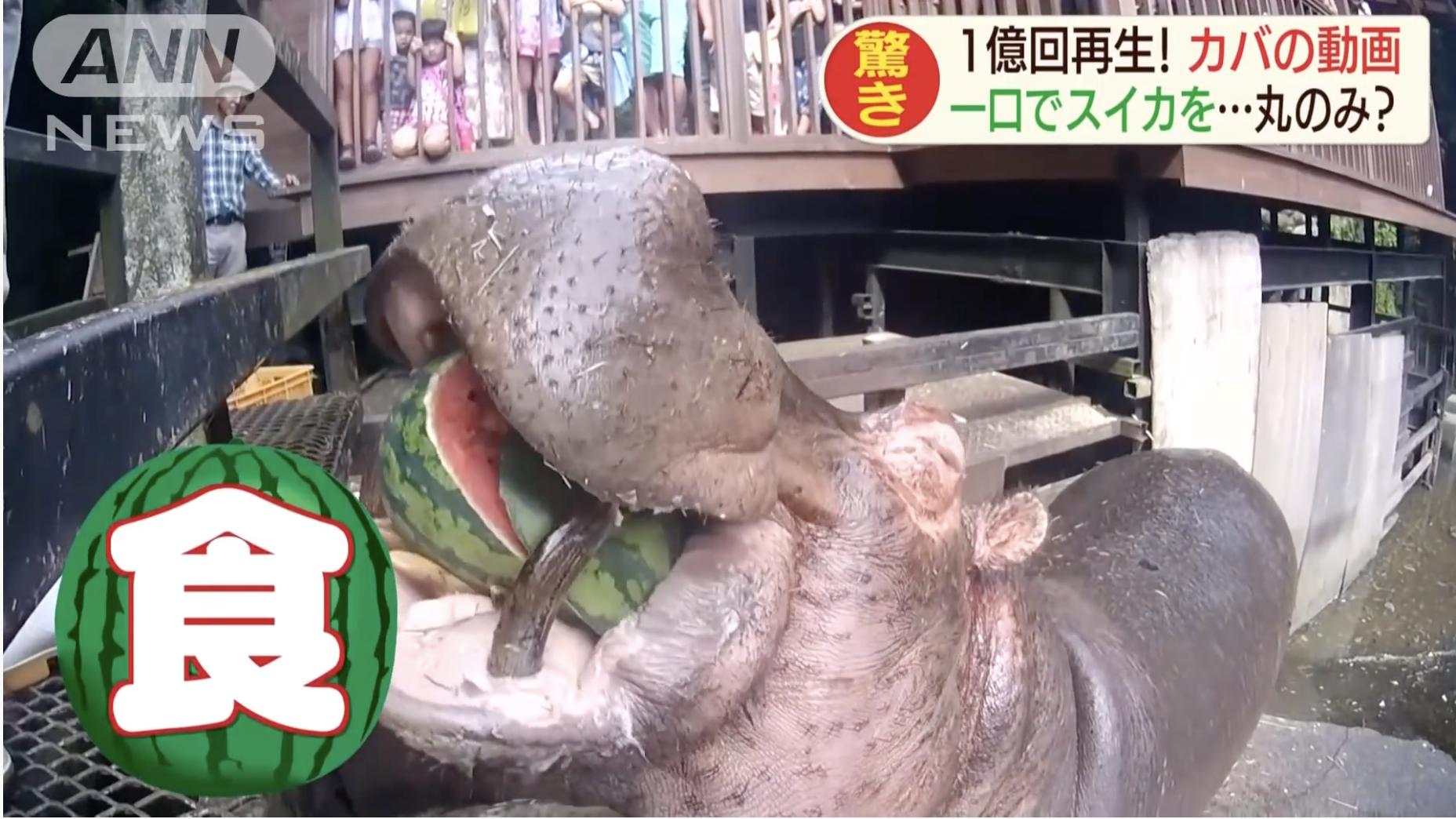 【再生1億回超え】カバ動画 スイカを丸ごと一口で!