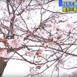 NYでサクラが開花 20度超え45年ぶりの暖かさ