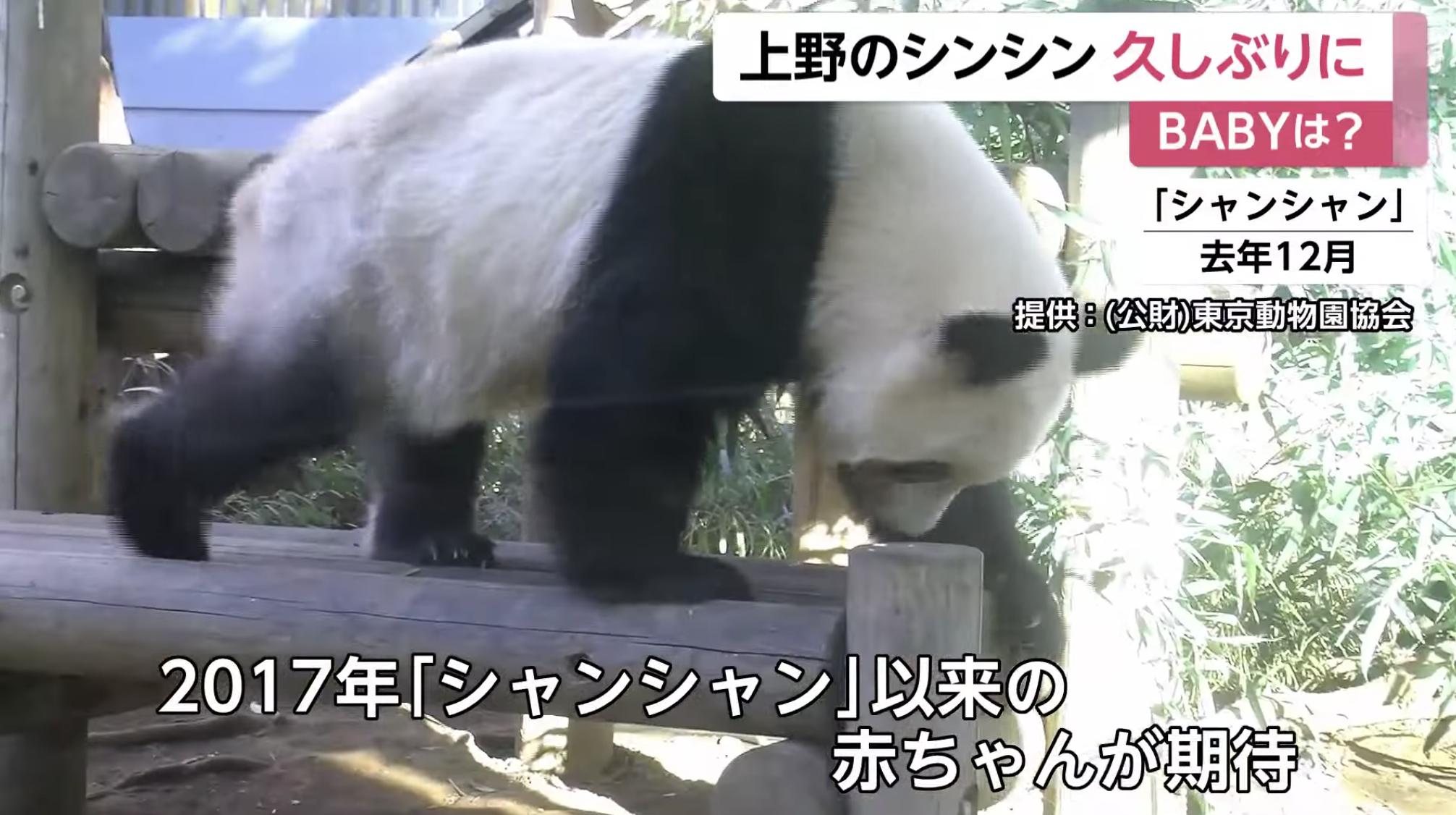 上野のパンダ、シンシンに赤ちゃん誕生の期待