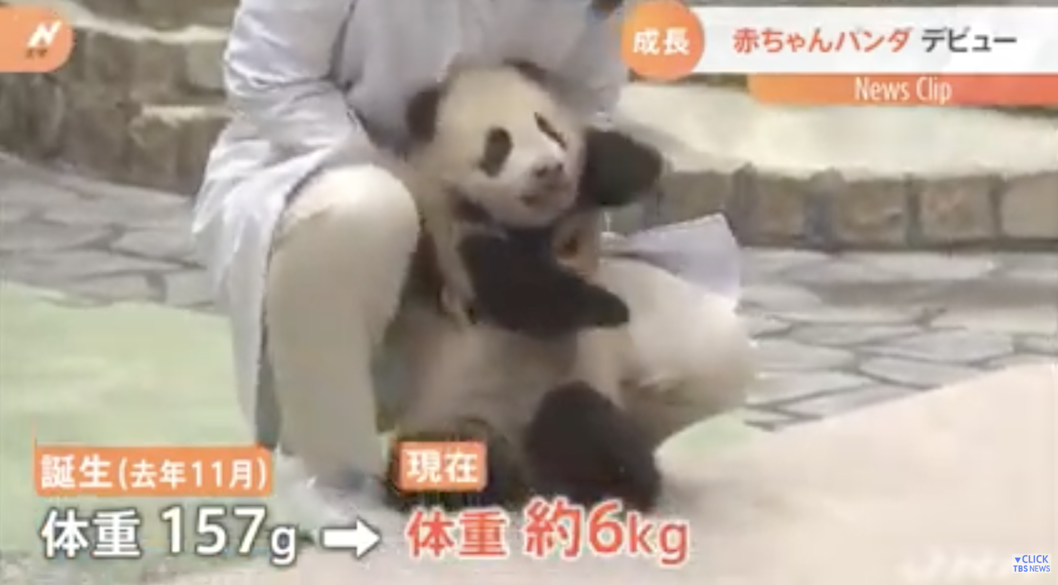 ジャイアントパンダの赤ちゃん、一般公開